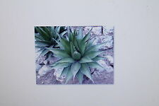 10 Samen Agave horrida subsp. horrida,Mexcalmetl,Mescal, # 236