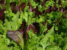 ORGANIC LETTUCE 'Mixed' 500 seeds