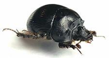 Bolboceratidae Bolbelasmus brancoi Spain