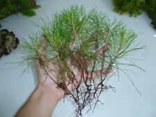 6 Loblolly Pine Seedlings - Evergreen House Plant Tree Perennial Pinus Timber