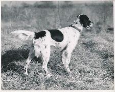 SETTER ANGLAIS c. 1950 - Chien de Chasse Grand Format - CH 47