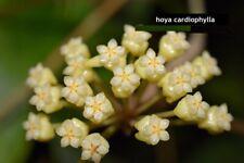 Rare Hoya Cardiophylla