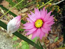 W.A. Mangle's Maculata Mix Everlasting Seed Annual Spring Wildflower