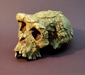 Sahelantropus Tchadensis Skull Replica