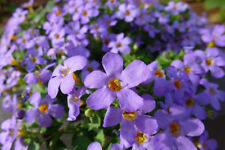 Fairy Flower Seed Becopa Blutopia x 10 seeds Trailing Basket Plant