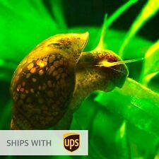 Live 10 Physella acuta Bladder Snails Algae Eater Freshwater Aquarium Pond