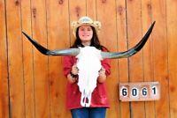 "STEER SKULL LONG HORNS MOUNTED 3' 4"" COW BULL TAXIDERMY LONGHORN H6061"