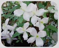 Clematis  Montana 'Grandiflora' Bare Root Plants x 3 Vigorous White Climber