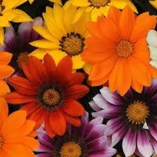 GAZANIA MIX splendens hardy daisy-like plants - large 4cell seedling punnet