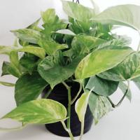 Pothos Marble Queen Variegated live plant in 8 inch Hanging Basket indoor