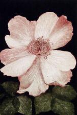 G H Rothe ANCESTOR flower pink 1979 Hand Signed Original Mezzotint Art MAKEOFFER