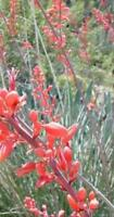 yucca, RED YUCCA , drought tolerant flower, 10 seeds! GroCo buy US USA