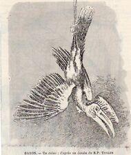 GABON UN CALAO OISEAU BIRD IMAGE 1903 OLD PRINT