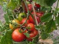 Roem van Mechelen Tomato Gloire de Malines Tomato 10+ seeds Heirloom!