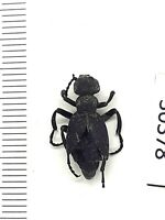 Beetle, 30378, Meloidae,Meloe franciscanus(?) from USA