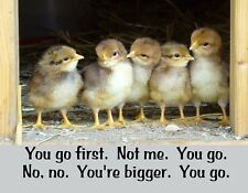 METAL REFRIGERATOR MAGNET Baby Chicks You Go First Not Me You Go Chicken Humor