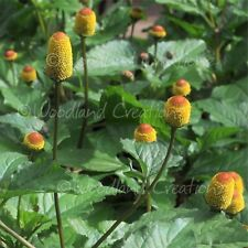 Toothache Plant Seeds Electric Daisy Buzz Buttons Paracress Bullseye Tingflower