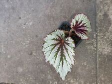 """Begonia """" evening glow"""" rooted, 1 plant"""
