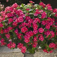 20 Seeds Vinca Catharanthus Roseus Rosy Periwinkle Balcony Garden Plant Flowers