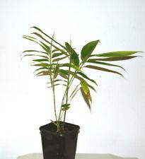 Riesenbambus Phyllostachys Moso - Sämlinge und Pflanzen - winterharter