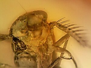 Miocene Dominican Amber Fossil With Superb Tiny Leafhopper Insect CS8 0.2g