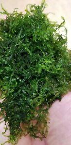 """CHRISTMAS (XMAS) MOSS - HUGE!!!!!!!!! AQUARIUM PLANT - 3""""x5"""" Free shipping."""