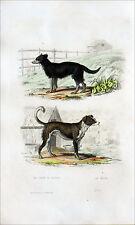 CYNOLOGIE (races canines) - CHIEN de BERGER & MÂTIN - Gravure du 19e siècle