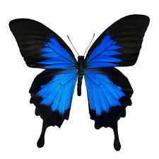 Papilio Ulysses Swallowtail Real Blue Butterfly A1 Us Seller! Unmounted