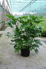 Japanese Fatsia Seeds Popular Foliage Indoor Houseplant