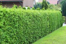 Thuja Brabant Lebensbaum immergrüne Heckenpflanze 30-40cm P0,5 Topf gewachsen