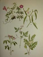 Vintage Botánico Botany Estampado ~ Earth-Nut Guisante Leche Arveja Hierba