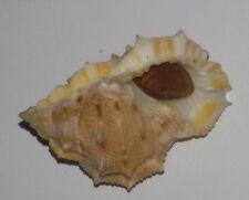 Conchiglia Shell BUFONARIA CRUMENA CAVITENSIS mm 51,5 Gem con opercolo India