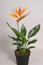 Bird of Paradise Plant in a 12cm Pot x 1.   Strelitzia reginae