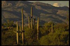199016 Saguaro Cactus a SAGUARO Monumento Nazionale Arizona A4 FOTO STAMPA
