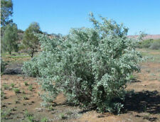 OLD MAN SALTBUSH Seed 250gm Arid Living Frost Tolerant Fodder Bulk Buy 17500seed