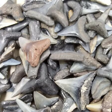 """Lot of 25 Whole Fossilized Shark Teeth 1/2""""-47/64"""" +Shark Tooth Necklace"""