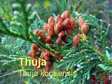 ***Thujaöl, naturrein (Thuja koraiensis) 30ml, Korea   Topp-Qualität, Saunaöl