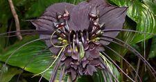 Bat De Flores-Tacca Chantrieri-Raro!!! viables las semillas frescas!! Flor arbusto Venta