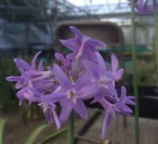 Tulbaghia 'Violacea'. National Collection Holders-Hoyland Plant Centre