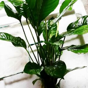Anubias Heterophylla Mature MOTHER XXL Potted Super Size Live Aquarium Plants