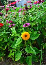 Zwerg Teddybär Sonnenblumen, Mini Sonnenblumen Saatgut,  20+ Samen