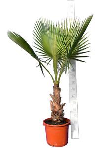 Mexikanische Washingtonpalme - Washingtonia robusta - Größenauswahl