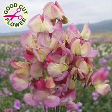 Sweet Pea - Spanish Dancer - 25 Seeds