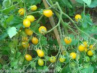 Blondköpfchen Tomate gelb* alte Tomaten Sorte* 10 Samen