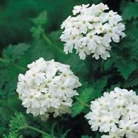 Verbena-White- 50 Seeds- BOGO 50% off SALE