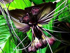 TACCA CHANTRIERI BLACK BAT FLOWER 30 BULBS FRESH PLANT BULB RHIZOME+ FREE PHYTO