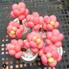 USA-Seller 50 Pcs/pack Egg Succulents Seeds Echinopsis Tubiflora Cactus Seed