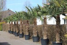 Hanfpalme Trachycarpus Fortunei max. 300 cm aus Spanien Winterhart bis ca. -19°C