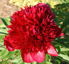 PEONY FLOWER - Karl Rosenfield - Bare Root Plant - Fall Shipping - PERENNIAL