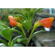 "Goldfish Live Plant Tropical Flower 4""Pot Blooms Frequently Ind/Outdoor Garden"
